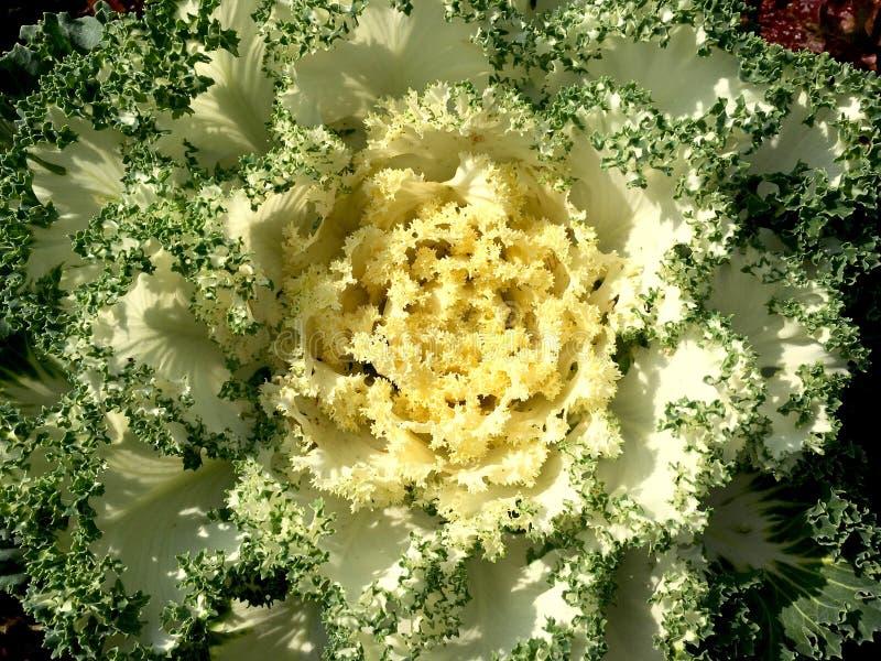 Brassica oleracea ornemental dans le jardin Chou décoratif avec le gradient de feuille photo libre de droits