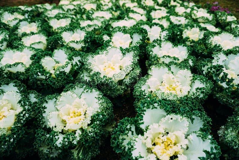 Brassica oleracea viridis obrazy stock