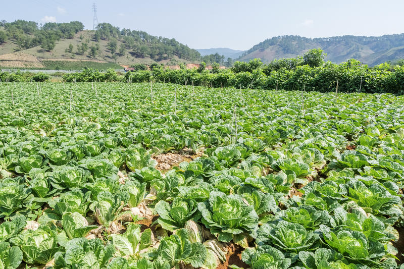 Brassica rapa subsp. pekinensis, vegetable Field Farm. Field of organic cauliflowers (complete with a few weeds!), Da Lat, Lam province, Vietnam. Lam Province royalty free stock images