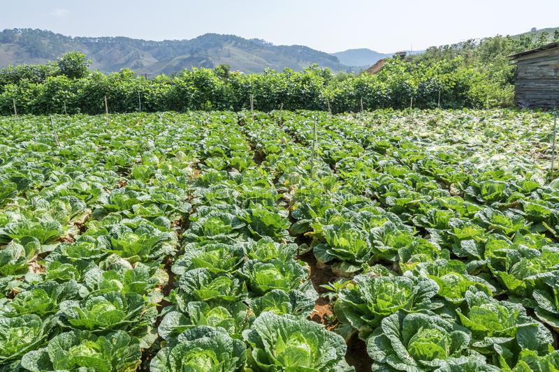 Brassica rapa subsp. pekinensis, vegetable Field Farm. Field of organic cauliflowers (complete with a few weeds!), Da Lat, Lam province, Vietnam. Lam Province stock photo
