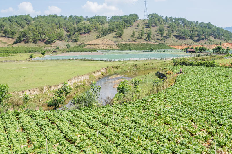 Brassica rapa subsp. pekinensis, vegetable Field Farm. Field of organic cauliflowers (complete with a few weeds!), Da Lat, Lam province, Vietnam. Lam Province stock image