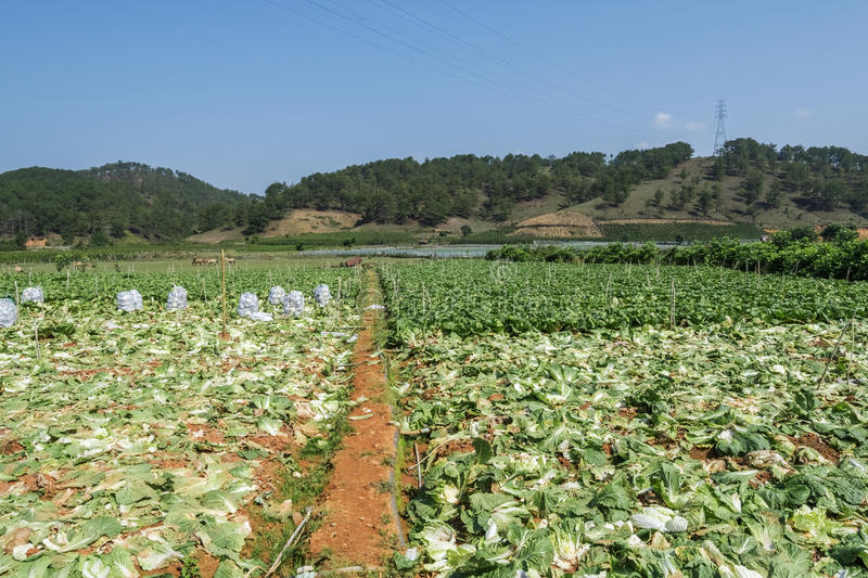 Brassica rapa subsp. pekinensis, vegetable Field Farm. Field of organic cauliflowers are harvested, Da Lat, Lam province, Vietnam. Lam Province is the largest stock photography