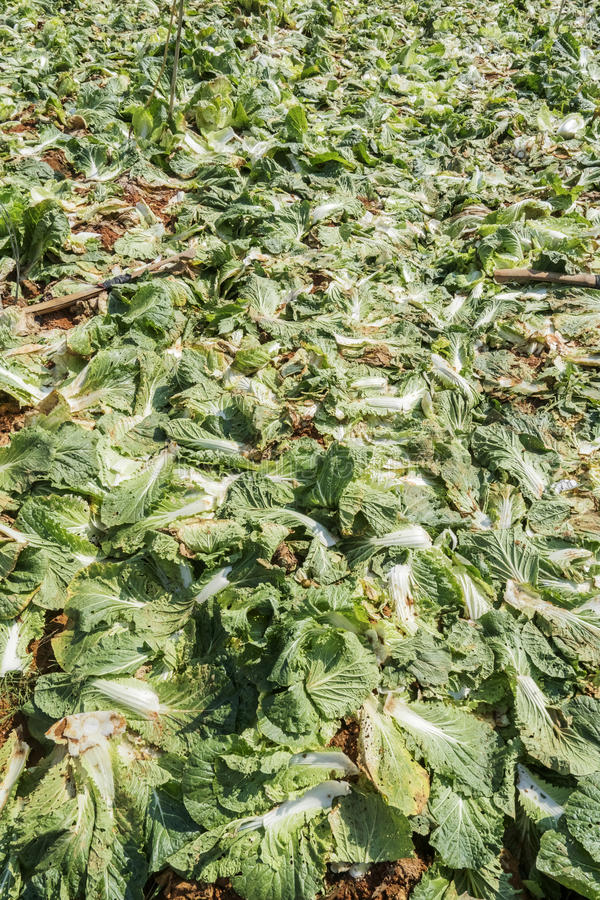 Brassica rapa subsp. pekinensis, vegetable Field Farm. Field of organic cauliflowers are harvested, Da Lat, Lam province, Vietnam. Lam Province is the largest royalty free stock photography