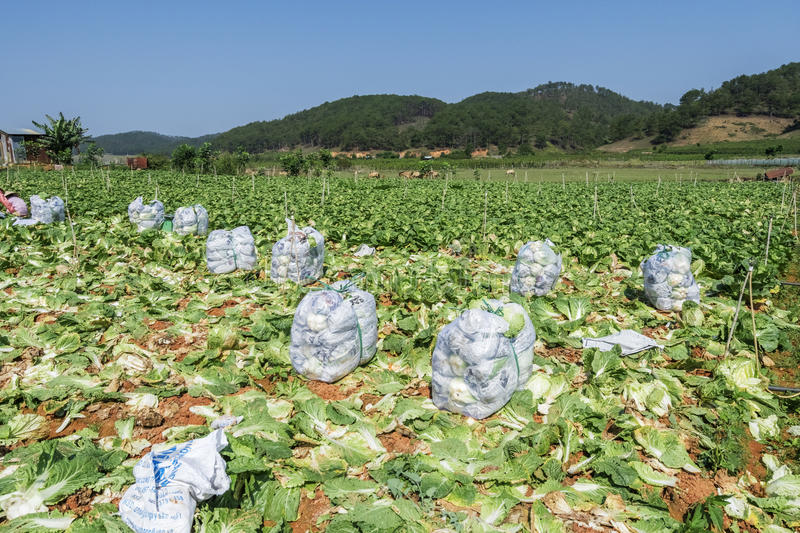 Brassica rapa subsp. pekinensis, vegetable Field Farm. Field of organic cauliflowers are harvested, Da Lat, Lam province, Vietnam. Lam Province is the largest royalty free stock images