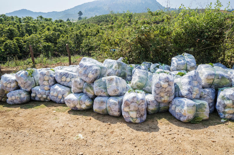 Brassica rapa subsp. pekinensis, Vegetables harvested. At Farm, Field of organic cauliflowers, Da Lat, Lam province, Vietnam. Lam Province is the largest place royalty free stock photo