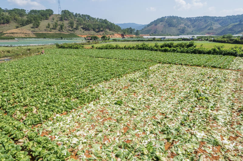 Brassica rapa subsp. pekinensis, Vegetables harvested. Brassica rapa subsp. pekinensis, Vegetables field harvested at Farm, Field of organic cauliflowers, Da Lat royalty free stock photography