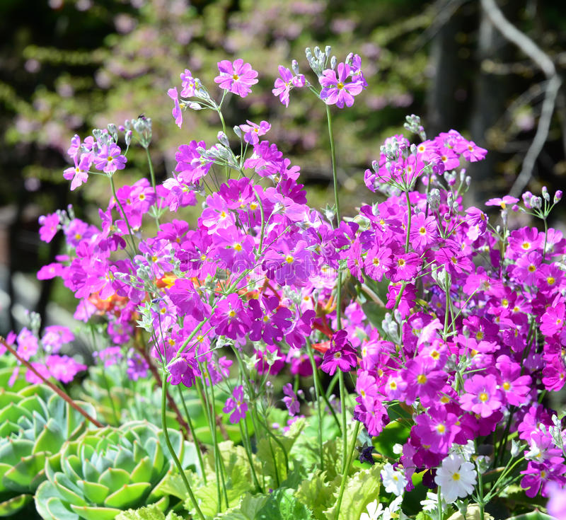 Brassicaceae flowers blooming at sunny day. Brassicaceae pink flowers blooming at sunny day stock photos