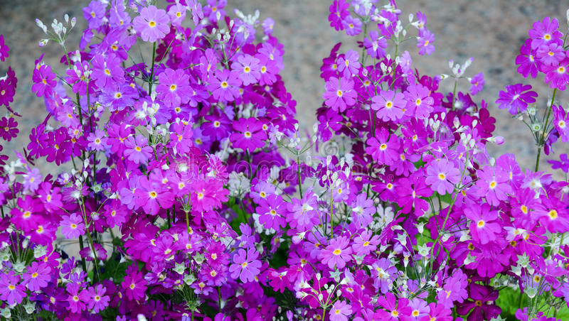 Brassicaceae flowers blooming at sunny day. Brassicaceae pink flowers blooming at sunny day. Closed up royalty free stock photography