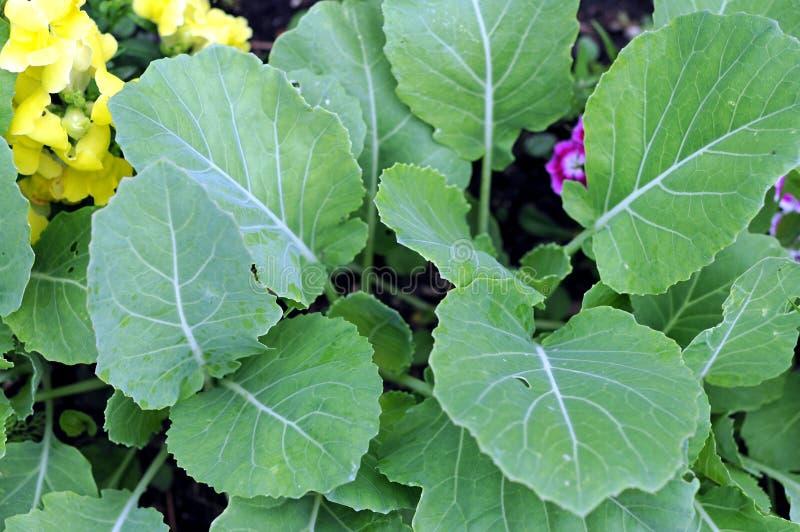 Brassicaceae (gai lan) tree. Young Brassicaceae (gai lan) tree in garden stock photo