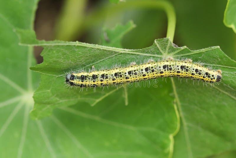 Brassicae blancos grandes de la mariposa de un Pieris de Caterpillar que alimentan en una planta imágenes de archivo libres de regalías