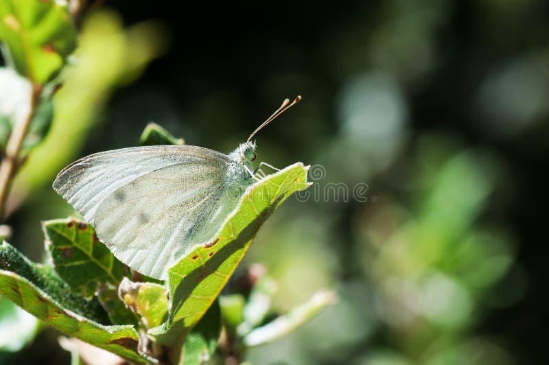 Brassicae Pieris, πεταλούδα λάχανων σε ένα πράσινο φύλλο στοκ φωτογραφία