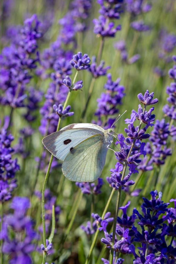 Brassicae Pieris Buterfly капусты белые на цветке лаванды стоковые изображения