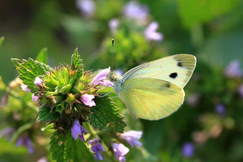 Brassicae van vlinderpieris, ook genoemd koolwitje stock foto