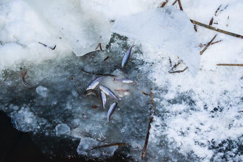 Braten Sie die Fische im See im Winter lizenzfreie stockfotos