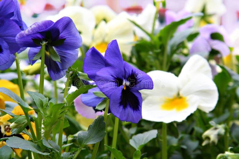 bratki wiosna obraz stock