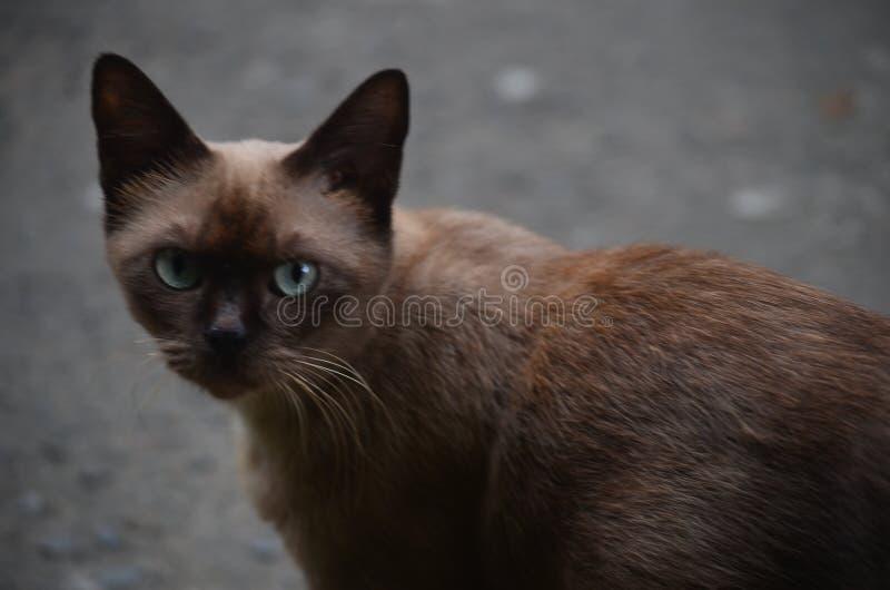 Braunäugige Katze, die wieder vorsichtiges des Schauens ausbaucht stockbild