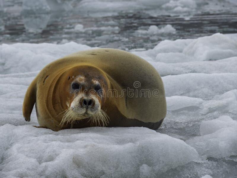 Braun-Dichtung, die auf Treibeis, Spitzbergen, Arktis legt stockfotografie