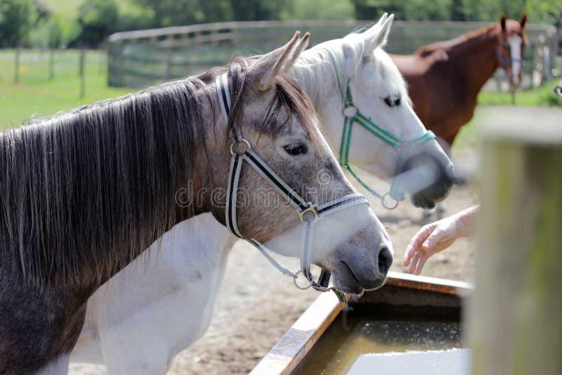 Braun och vit för tre hästar arkivbild