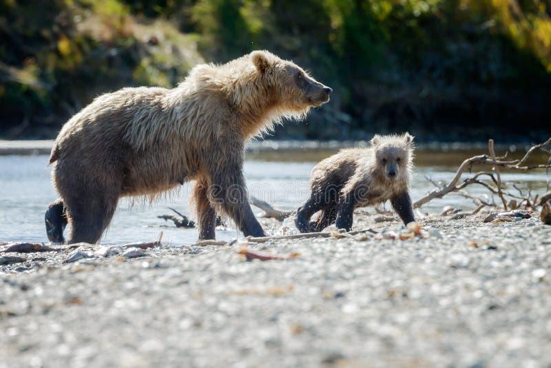 Braunbär bei Alaska Katmai lizenzfreie stockfotografie