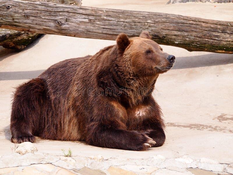 Braunbär, der in der Sonne nach Winterschlaf sich aalt stockbild