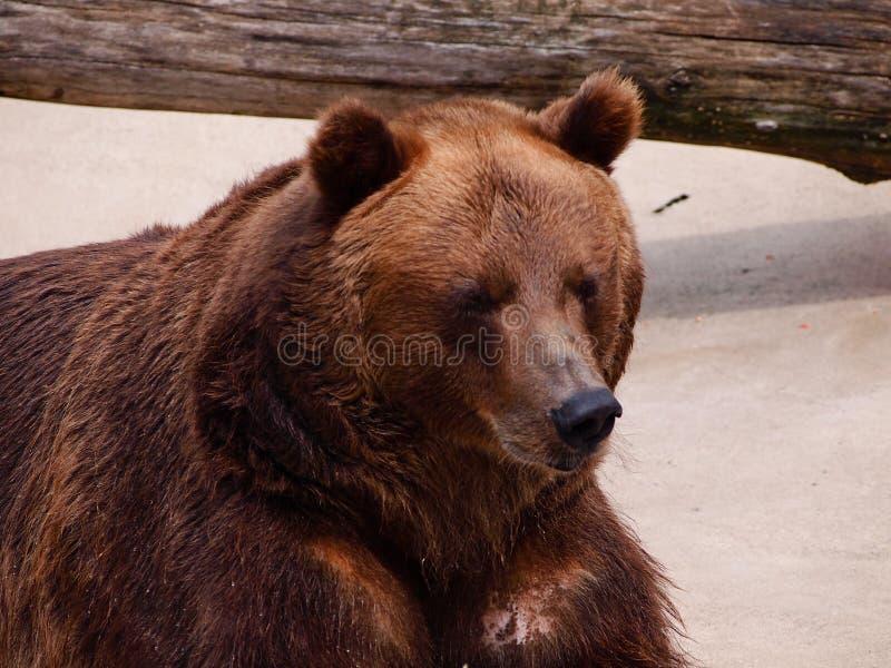 Braunbär, der in der Sonne nach Winterschlaf sich aalt Abschluss oben lizenzfreie stockbilder