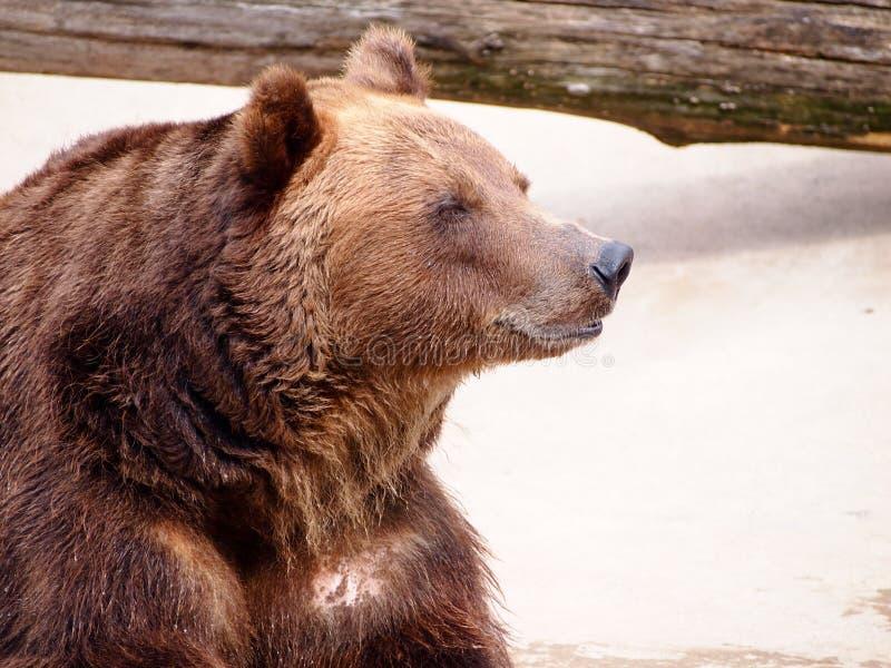Braunbär, der in der Sonne nach Winterschlaf sich aalt Abschluss oben stockfoto