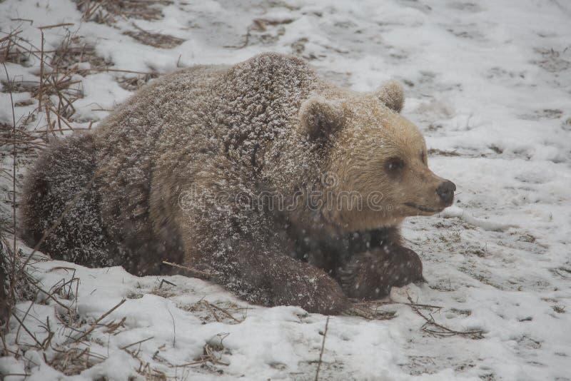 Braunbär, der vom Winterschlaf aufwacht lizenzfreie stockfotos