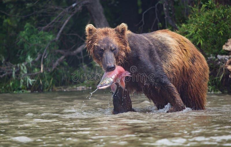 Braunbär fängt das Mittagessen im See Kuril lizenzfreie stockbilder