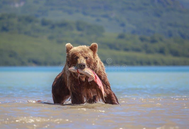 Braunbär fängt das Mittagessen im See Kuril stockfotos