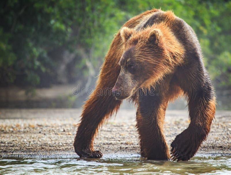 Braunbär fängt das Mittagessen im See Kuril lizenzfreies stockfoto