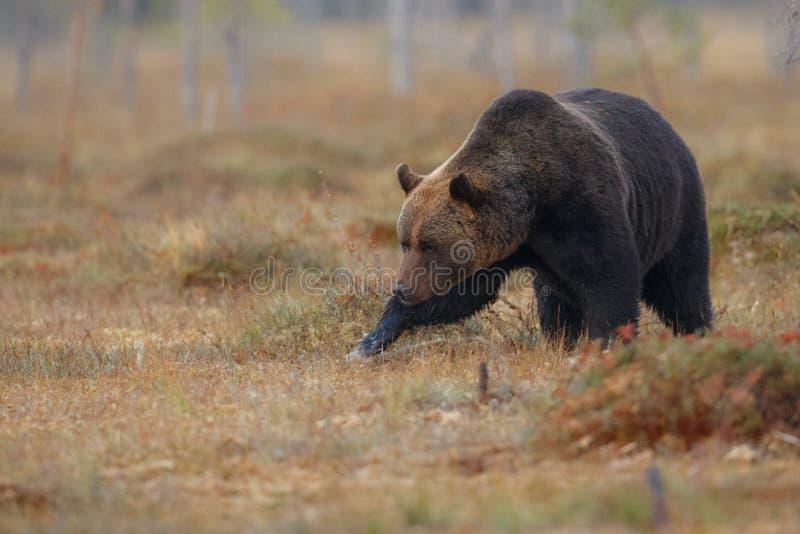 Braunbär im Naturlebensraum von Finnland-Land stockbilder