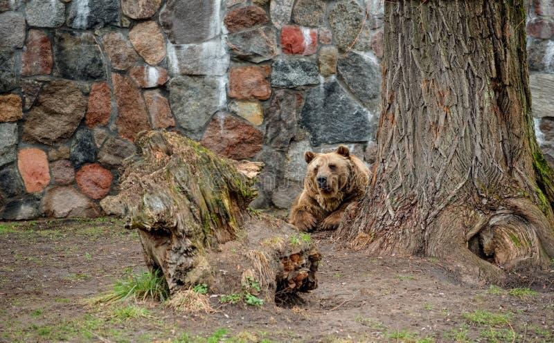 Braunbär im Zoo in Bia?ystok Polen stockfoto