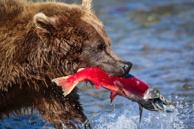 Braunbär mit roten Lachsen herein lizenzfreies stockfoto
