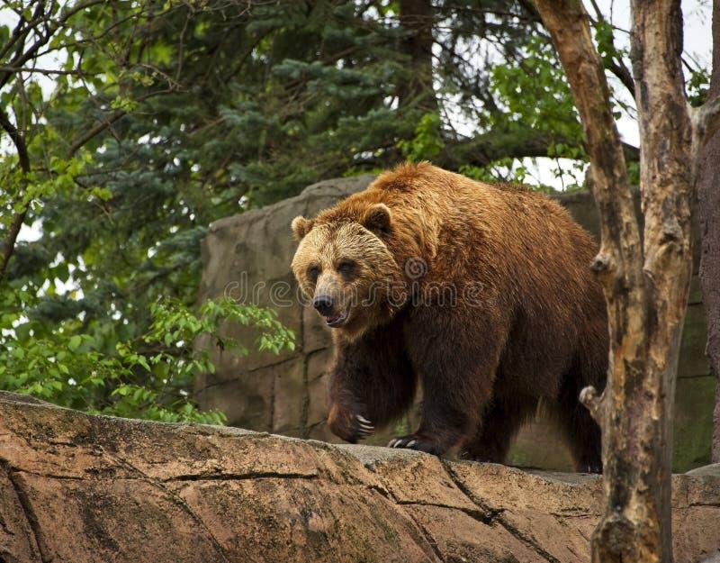 Braunbär-Schritte am Indianapolis-Zoo lizenzfreies stockbild