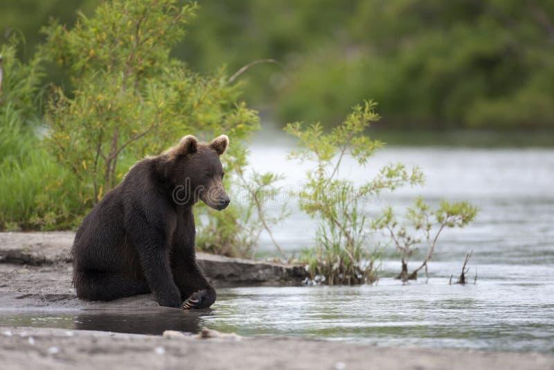 Braunbär sitzt auf der Flussbank stockbilder