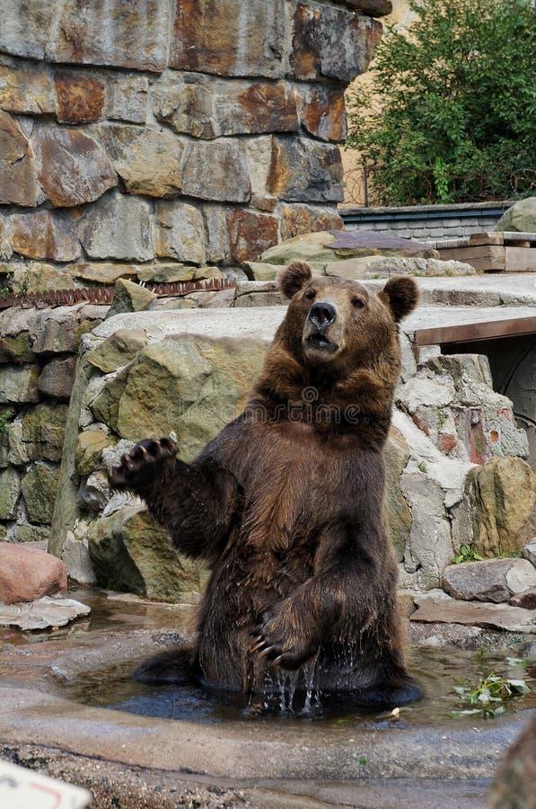 Braunbär sitzt auf seinen Hinterbeinen im Wasser unter den Steinen stockfotos