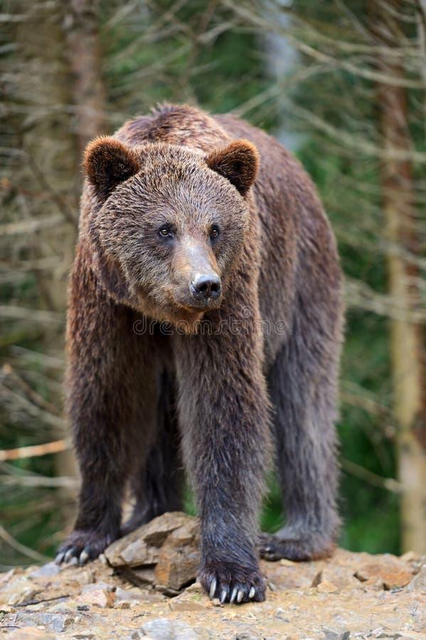 Braunbären in den Karpaten. lizenzfreies stockfoto