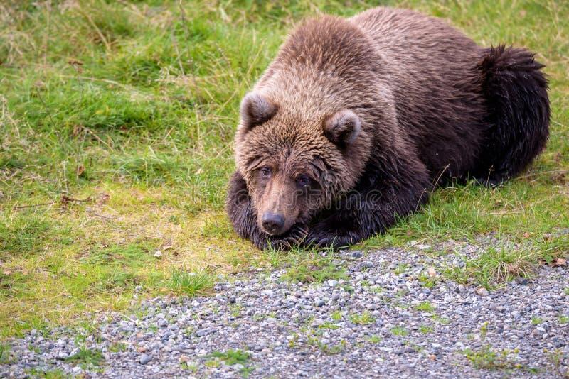 Braunbären im wilden stockbilder