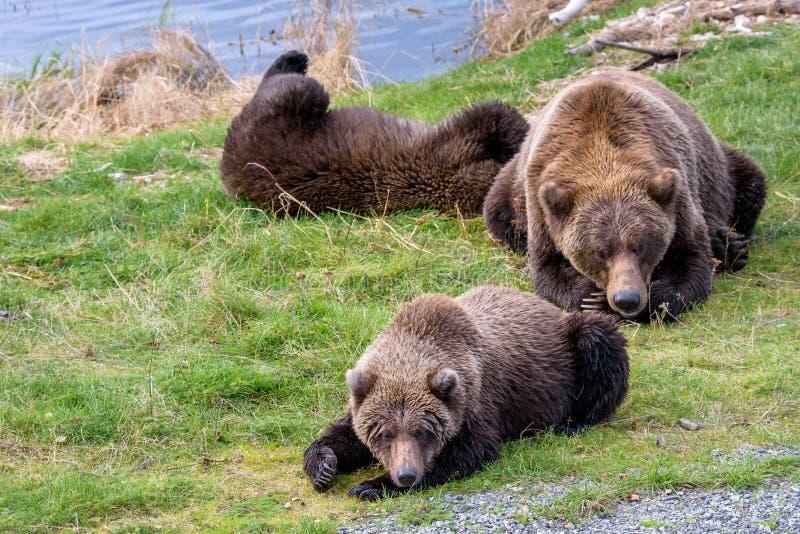 Braunbären im wilden lizenzfreie stockfotografie