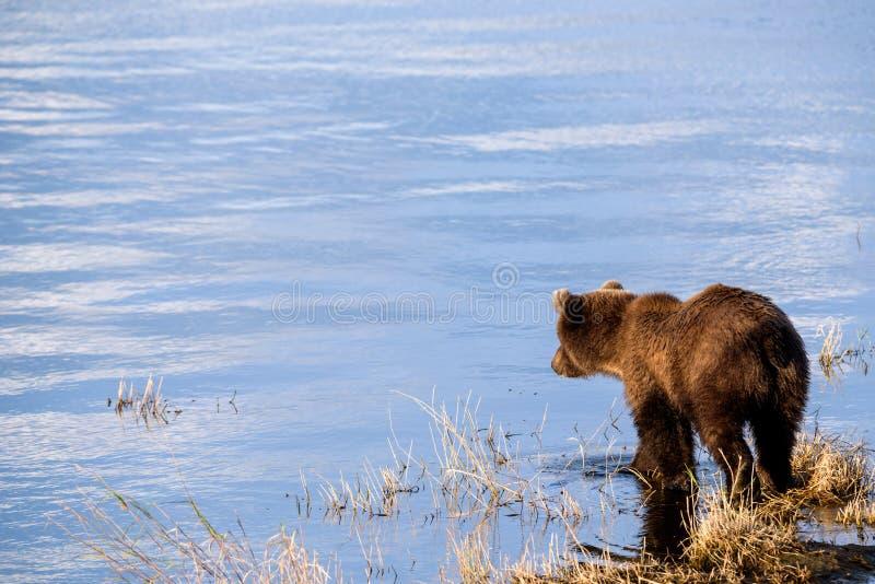 Braunbären im wilden stockfotos