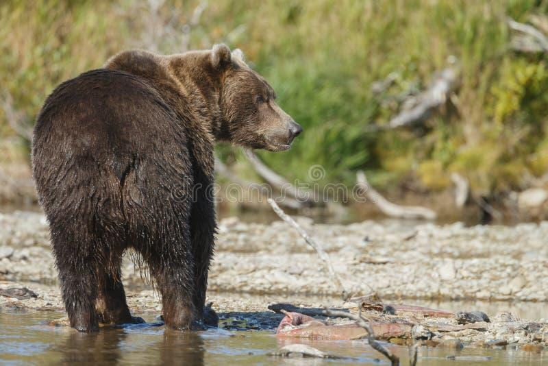 Braunbärjunges bei Alaska Katmai lizenzfreie stockbilder