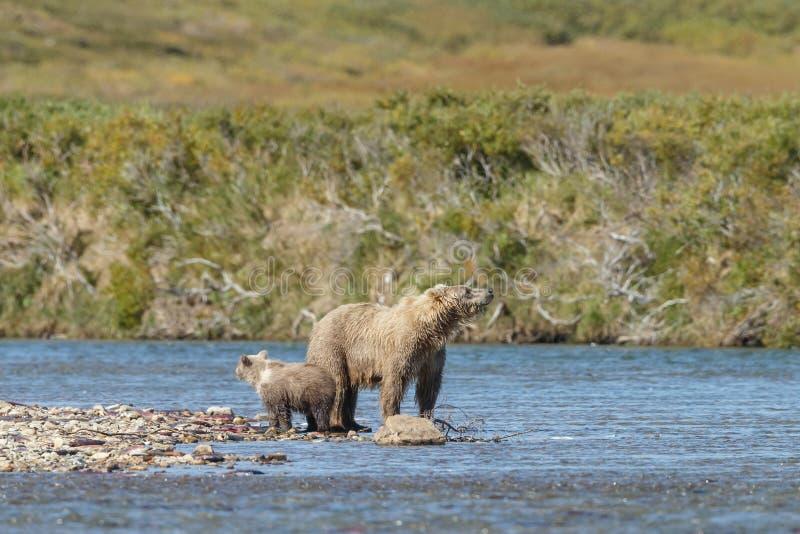 Braunbärjunges bei Alaska Katmai stockbilder