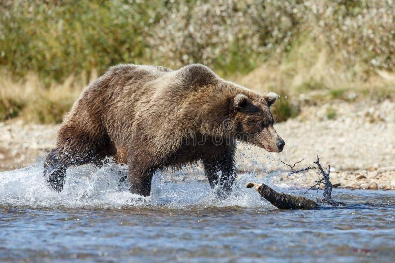 Braunbärjunges bei Alaska Katmai stockbild