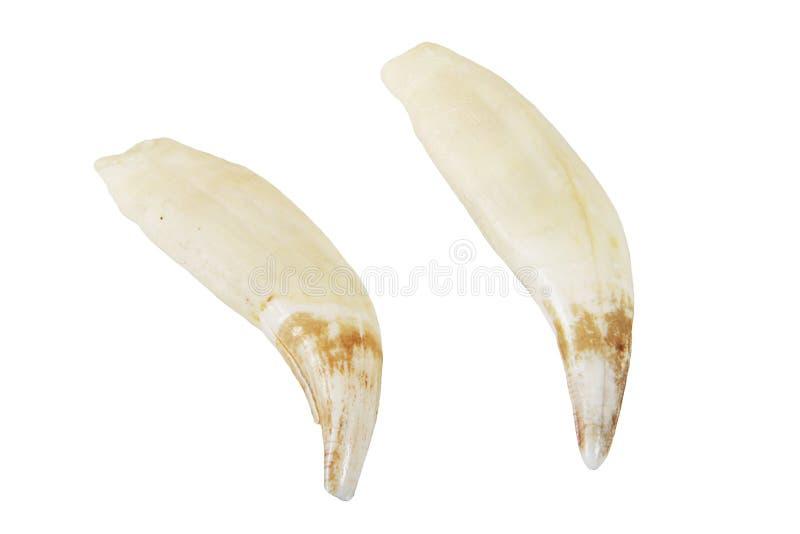 Braunbärreißzähne stockfotografie