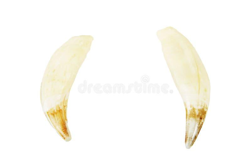 Braunbärreißzähne stockfoto