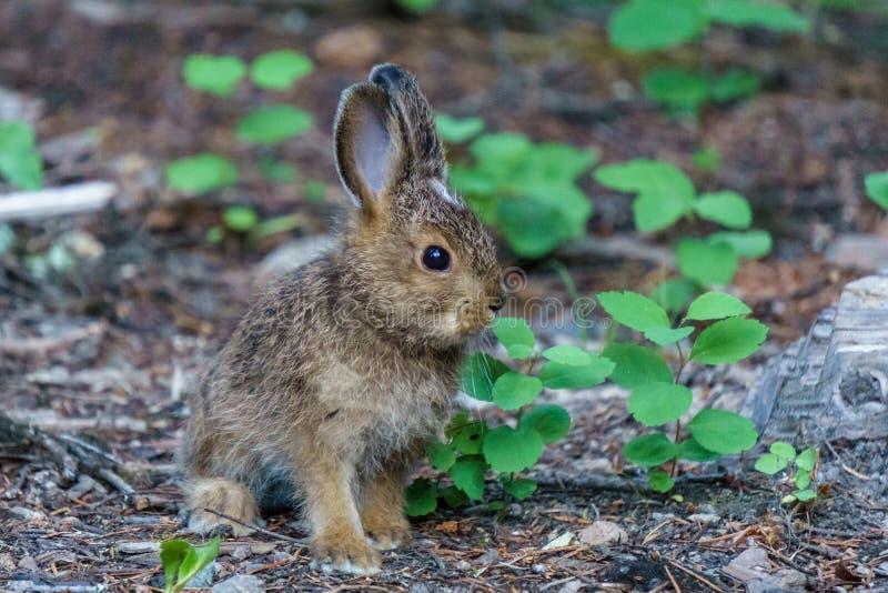 Braune Hasen oder Häschen des Babys auf Waldboden lizenzfreies stockbild
