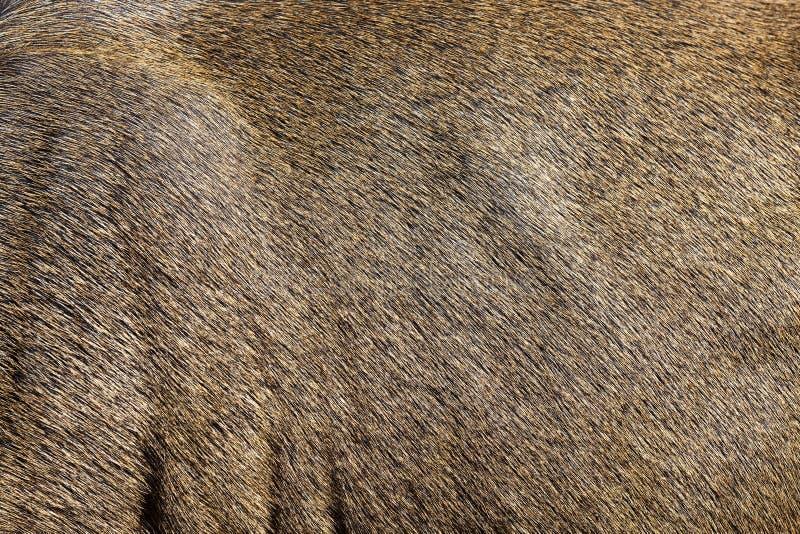 braune Rotwildhaut stockfotografie