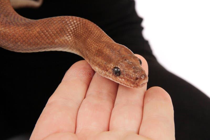 braune Schlange in der menschlichen Hand lizenzfreie stockfotografie