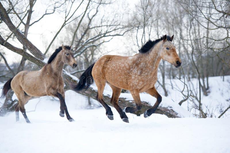 Braunen, die Galopp im Winterwald laufen lassen lizenzfreie stockfotos