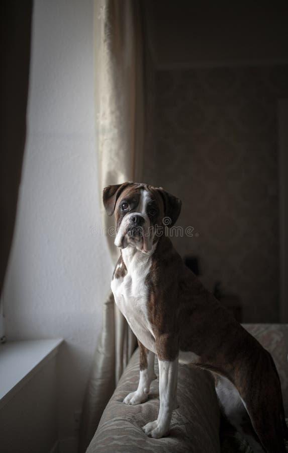 brauner Boxerhund stockfotos